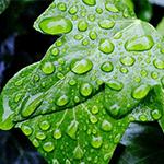 Hiedra propiedades naturales para aliviar la tos - HeelEspaña