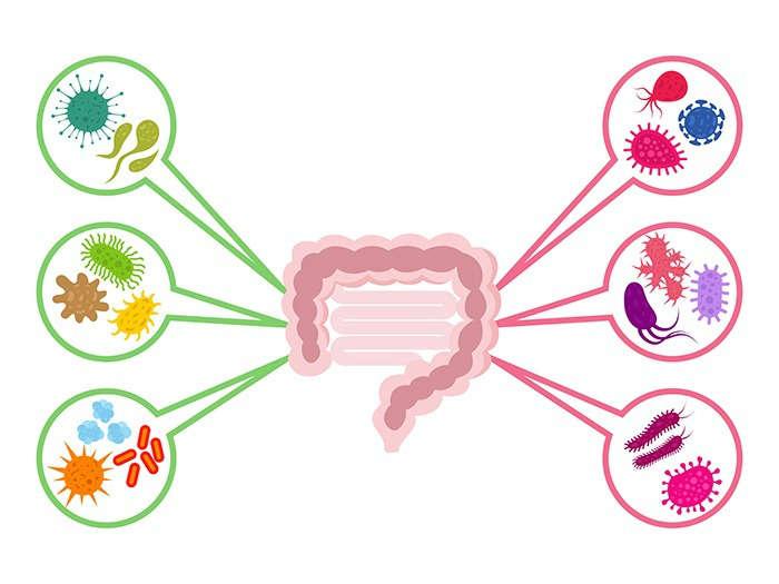 Microbiota intestinal y sistema inmune: ¿existe relación? - HeelEspaña