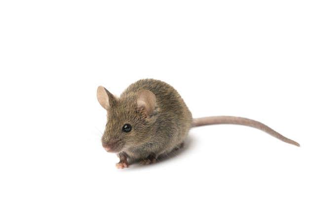 Influencia de la Microbiota en la Salud Mental: raton gris - HeelEspaña