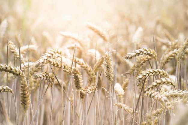Sensibilidad a los alimentos e hinchazón abdominal: trigo campo - HeelEspaña