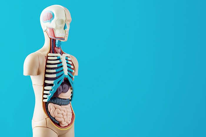 Eje intestino-cerebro: bacterias intestinales - HeelProbiotics - HeelEspaña